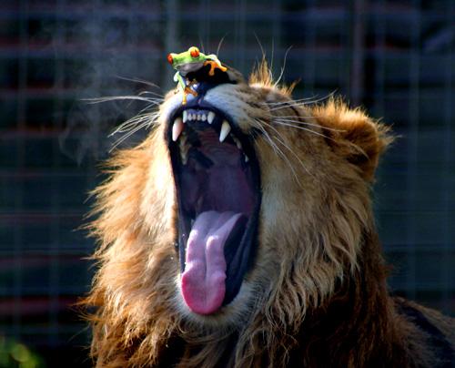 Lopullinen kuva, missä sammakko kurkkii leijonan nenän päällä
