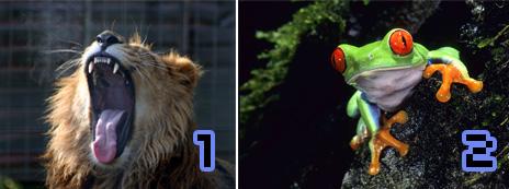 Trikkikuvaukseen valitut kuvat: leijona ja sammakko